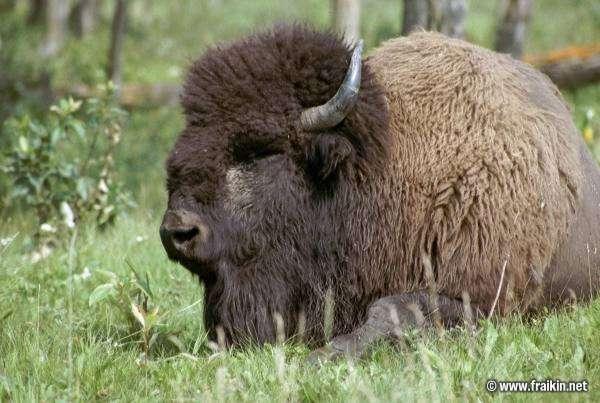 Büffel Usa